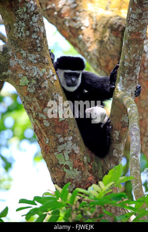 Angolan black and white female with young, Africa / (Colobus angolensis) - Stock Photo