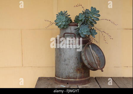 Succulents growing from an old milk churn outside a house in the Karoo town of Cradock in the Eastern Cape of South - Stock Photo