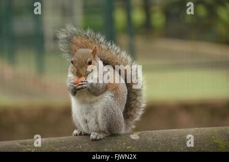 Close-Up Of Squirrel Eating Nut - Stock Photo