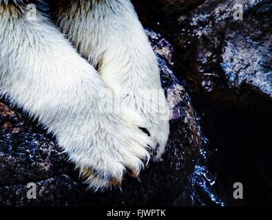 Close-Up Of Polar Bear Paws On Rock - Stock Photo