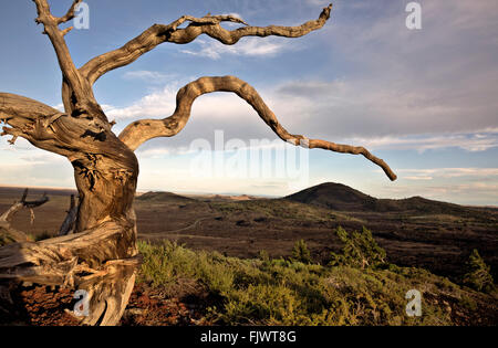 ID00486-00...IDAHO - Root ball of an old tree on the side of Inferno Dome in Craters of the Moon National Monument - Stock Photo