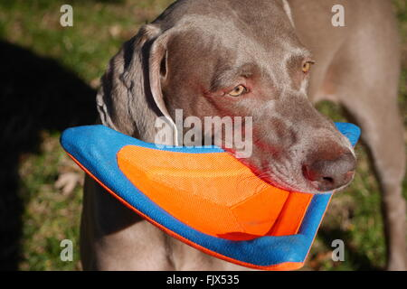 High Angle View Of Weimaraner With Toy In Mouth - Stock Photo