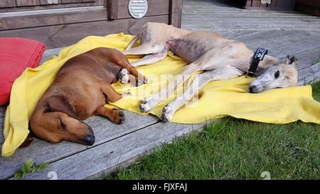High Angle View Of Dogs Sleeping On Wooden Floor - Stock Photo