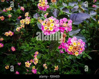 High Angle View Of Lantana Camara Blooming In Garden - Stock Photo