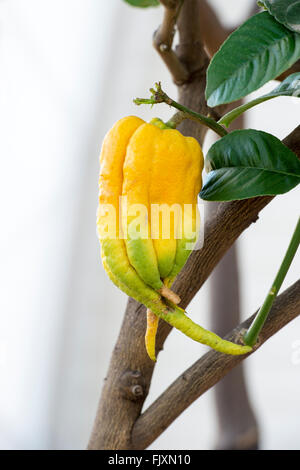Citrus medica var. digitata. Fingered citron fruit inside the glasshouse at RHS Wisley Gardens, Surrey, England - Stock Photo
