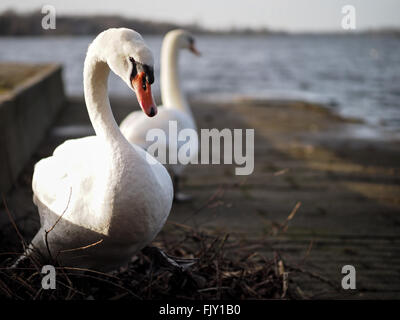 Swans Against Lake On Sunny Day - Stock Photo