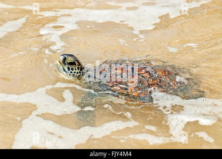 Green sea turtle , Chelonia mydas, breath - Stock Photo