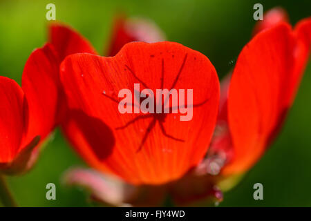 Spider shade on red petals - Stock Photo
