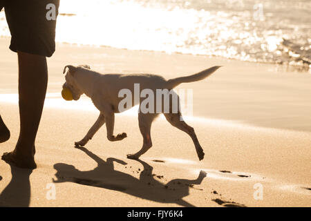 Dog carrying ball on beach in summer. - Stock Photo