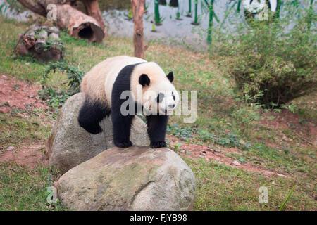 Panda in zoo - Stock Photo