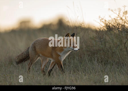 Red Fox / Rotfuchs ( Vulpes vulpes ) walks through high grass, looks concentrated, in wonderful soft backlight, - Stock Photo