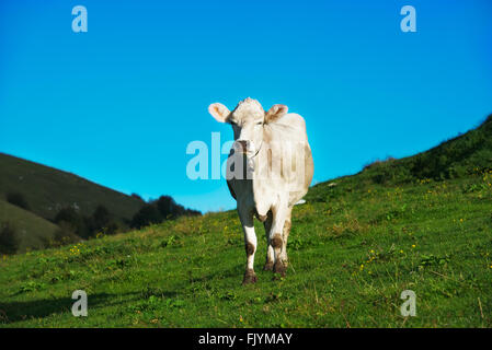 Cow on green grass pasture in mountains with blue sky - Stock Photo