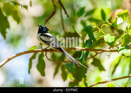 Terpsiphone mutata: Male Malagasy Paradise Flycatcher resting on a branch - Stock Photo