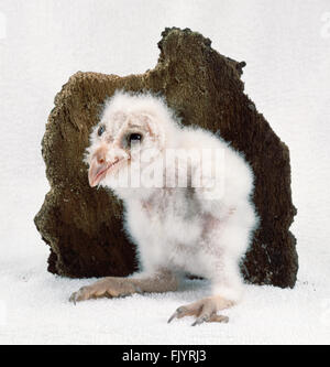 Three week old Barn Owl chick (Tyto alba) standing in front of piece of tree bark, side view - Stock Photo