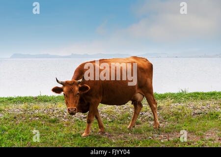 Cows pasturing on the shore of lake - Stock Photo
