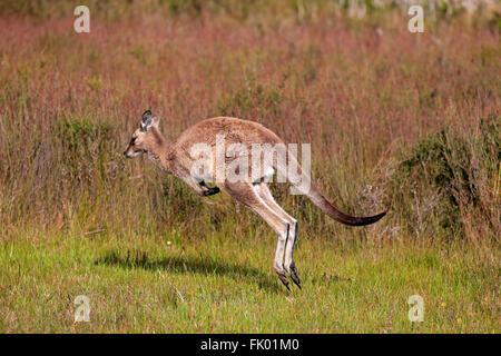 Eastern Grey Kangaroo, adult female jumping, Wilson Promontory Nationalpark, Victoria, Australia / (Macropus giganteus) - Stock Photo