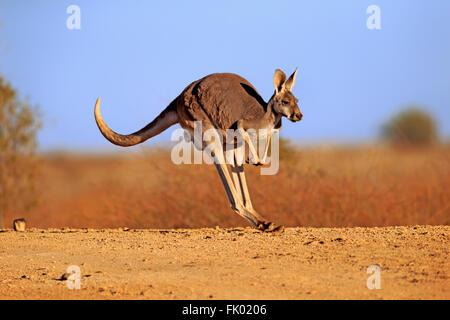 Red Kangaroo, adult jumping, Sturt Nationalpark, New South Wales, Australia / (Macropus rufus) - Stock Photo