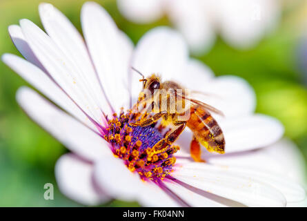 Macro photo of beautiful bee sitting on white gentle daisy, little honeybee collects pollen from flowers - Stock Photo