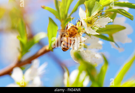 Closeup photo of little bee on blooming fruit tree, honeybee pollinating apple tree and collects pollen from flowers - Stock Photo