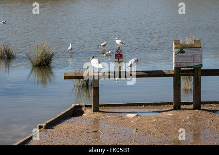 Gulls on feeding platform in wildlife park - Stock Photo