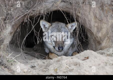 Wolf in a burrow - Stock Photo