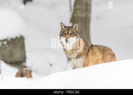 Frightened and wounded European grey wolf (Canis lupus lupus)in the snow, in Germany national park, bavarian forest - Stock Photo