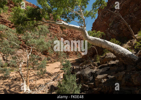 River Red Gum at Redbank Gorge Larapinta Trail of the West MacDonnell Ranges. - Stock Photo