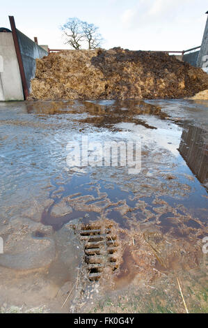 Effluent run off from a manure heap going down a drain into a storage unit on a dairy farm, Cumbria, UK. - Stock Photo