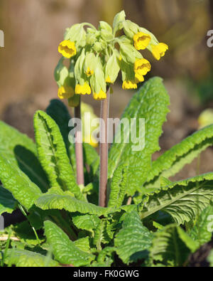 Cowslip (Primula veris). Yellow spring flower of plant in the family Primulaceae, flowering in a British woodland - Stock Photo