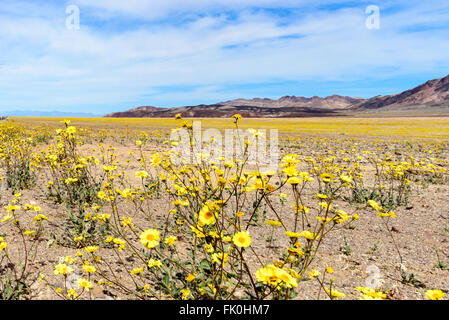 The Death Valley wildflower super bloom. Yellow wildflowers close up, valley of wildflowers, chocolate hills, azure - Stock Photo