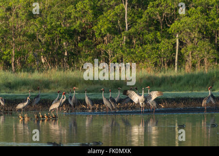 Sarus cranes in its watering hole with plumed whistling ducks in the morning some doing occasional mating dance. - Stock Photo