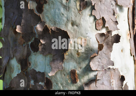 Tree Bark Peeling - Stock Photo