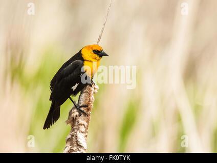 A male Yellow-headed Blackbird (Xanthocephalus xanthocephalus) perches on a cattail. Othello, Washington, United - Stock Photo