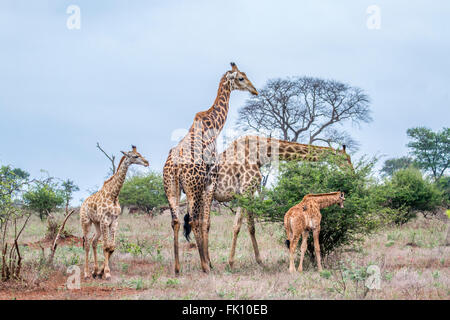 Giraffe family Specie Giraffa camelopardalis family of Giraffidae, Kruger national park, South Africa - Stock Photo