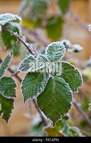 frost covered leaves of blackberry bush bramble - Stock Photo