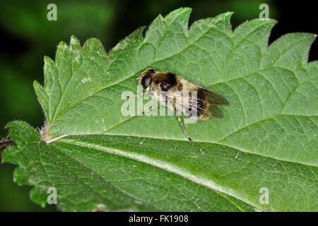 Hoverfly (Cheilosia illustrata) resting on leaf at woodland edge Cheshire UK July 3939 - Stock Photo