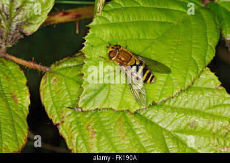 Hoverfly (Syrphus species) resting on leaf at woodland edge  Cheshire UK July 3984 - Stock Photo
