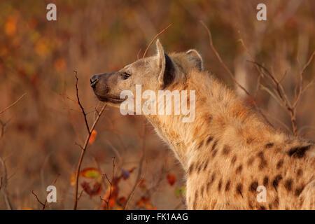 Portrait of a spotted hyena (Crocuta crocuta), Kruger National Park, South Africa - Stock Photo