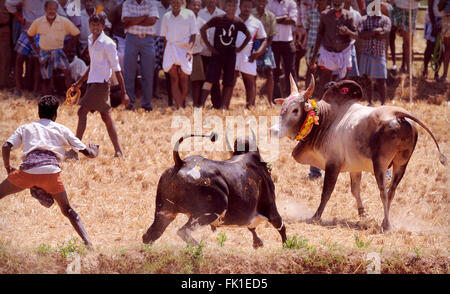 Manju Virattu; This version of Jallikattu is more popular in the southern districts  of TN. bull is released in - Stock Photo