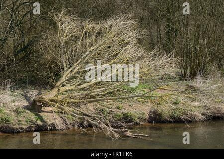 Willow tree (Salix sp.) felled by Eurasian beavers (Castor fiber) on the banks of the River Otter, Devon, UK, March. - Stock Photo
