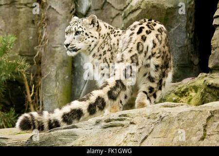 Snow leopard showing long detailed tail in foreground. Landscape format. Big white cat with black markings in captive - Stock Photo