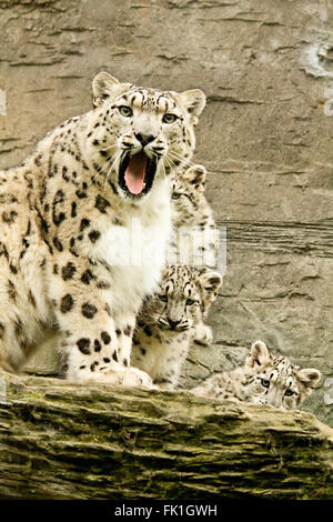 Snow leopard with three cubs warning viewer. White big cat with black markings. Portrait format. Captured bred animal - Stock Photo