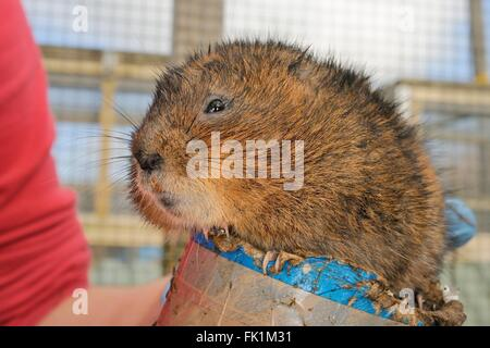 Captive bred Water vole (Arvicola amphibius) on a cardboard weighing tube inside a breeding cage ahead of a UK reintroduction. - Stock Photo