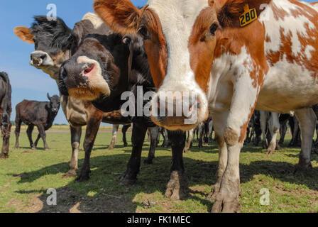 Curious cows close-up. - Stock Photo