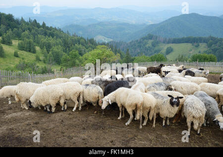 A flock of sheep in the Carpathian Mountains - Stock Photo