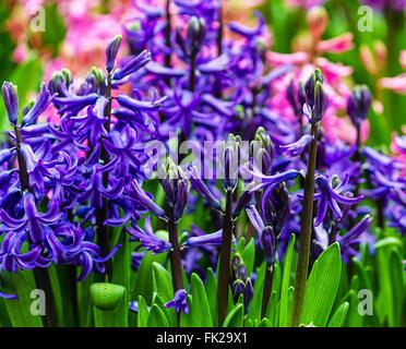 Blue hyacinths - Stock Photo