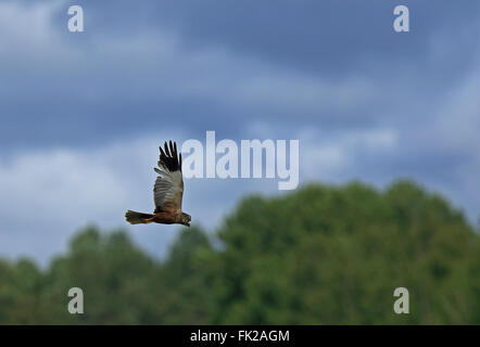 Western Marsh Harrier - Stock Photo