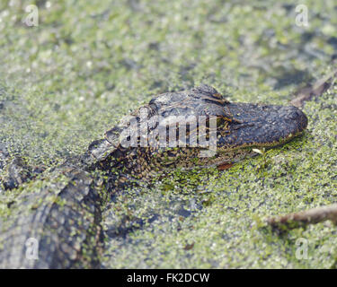 Young American Alligator in Florida Wetlands - Stock Photo