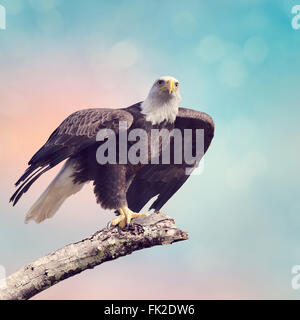 A Bald Eagle  Taking off - Stock Photo