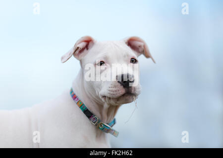 American Staffordshire terrier puppy portrait - Stock Photo